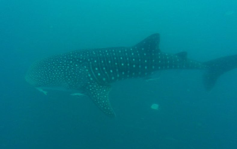 whale shark diving donsol
