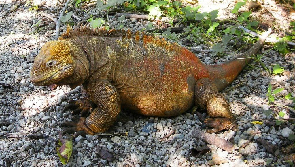 Iguana Galapagos Island
